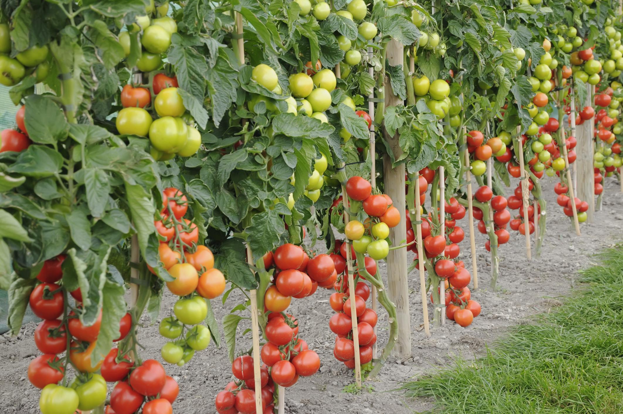 Как увеличить урожай томатов: проверенный способ - дачные советы.ру