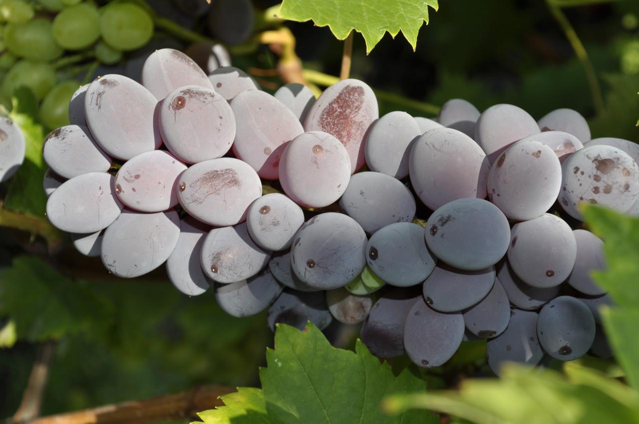 Виноград юпитер: описание сорта кишмиш из сша, опыт в россии - молочай