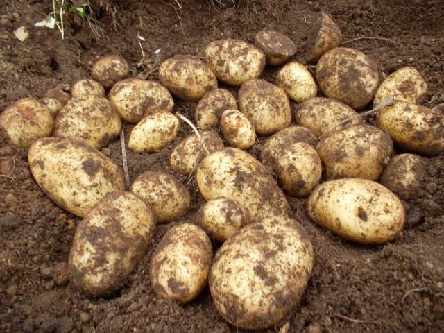 Сорт раннего картофеля «сорокодневка»: характеристика, описание, урожайность, отзывы и фото