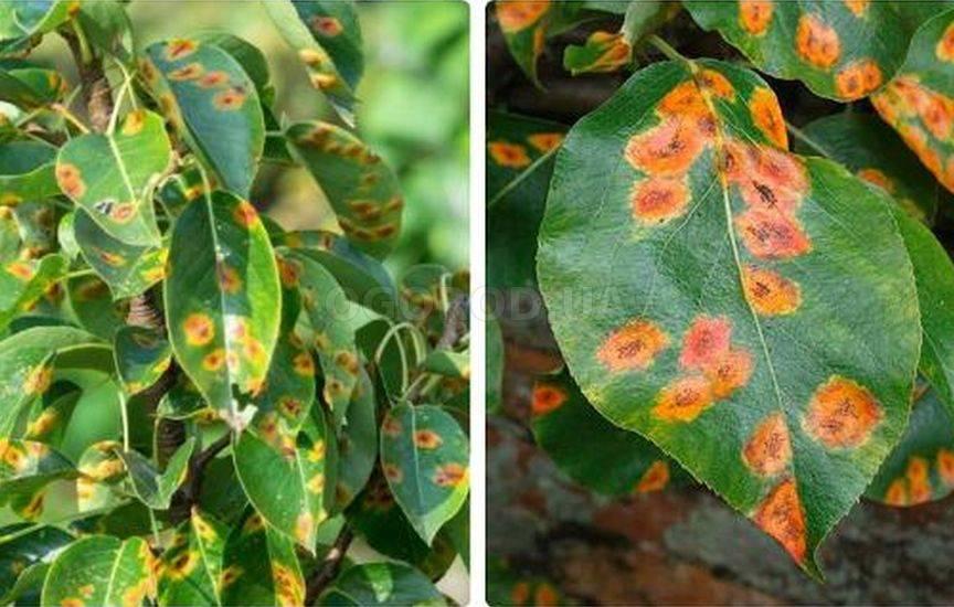 Болезни и вредители листьев груши