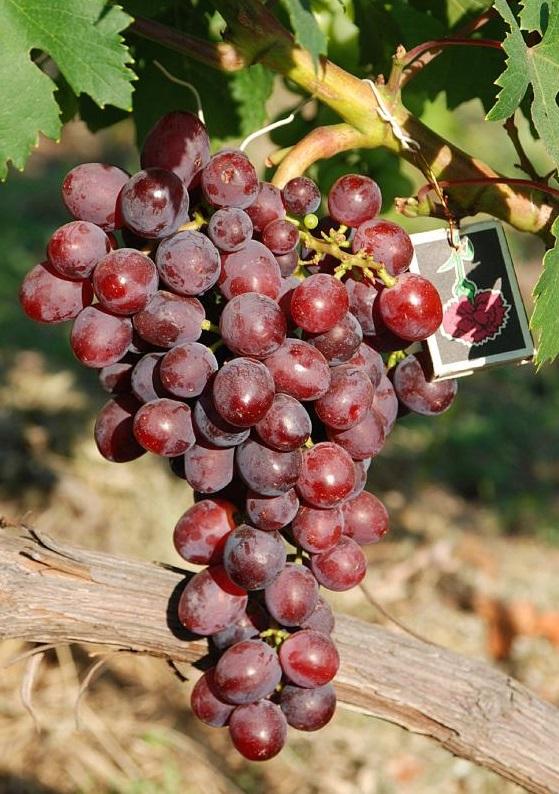 Кардинал — описание сорта винограда