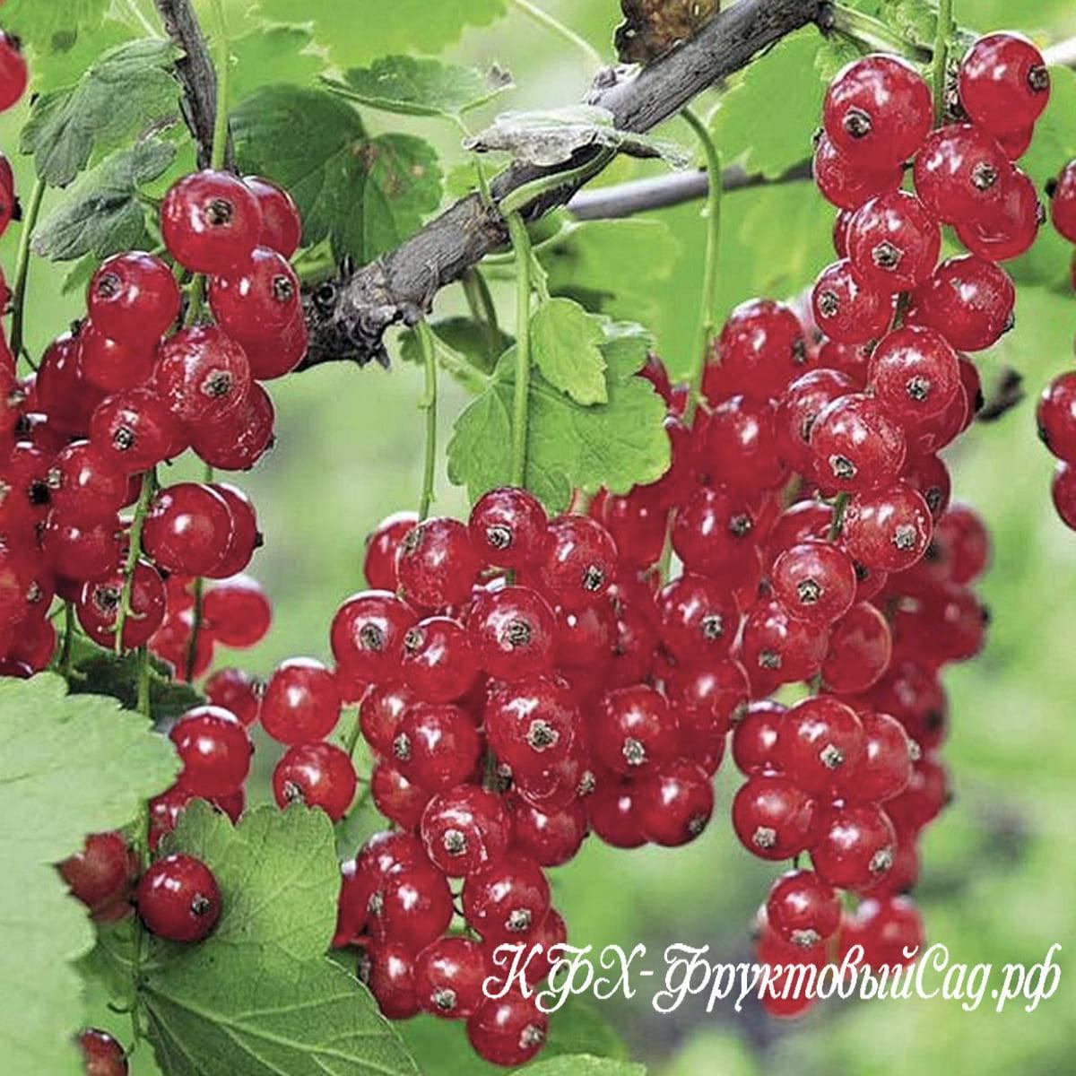 Смородина ненаглядная: описание сорта красной смородины, выращивание - посадка и уход