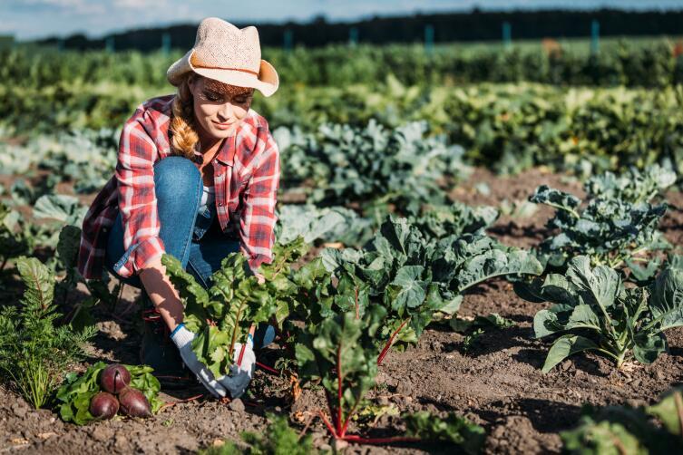 Картофель: посадка, выращивание и уход