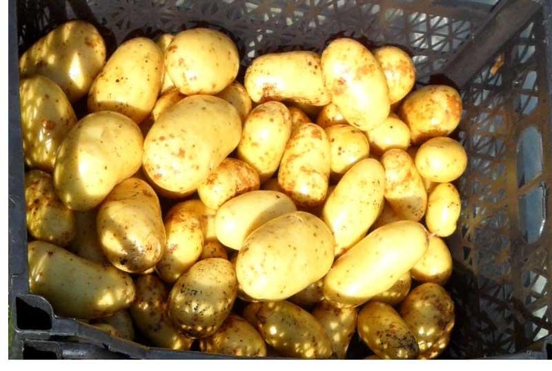 """Картофель """"латона"""": описание сорта, фото, отзывы"""