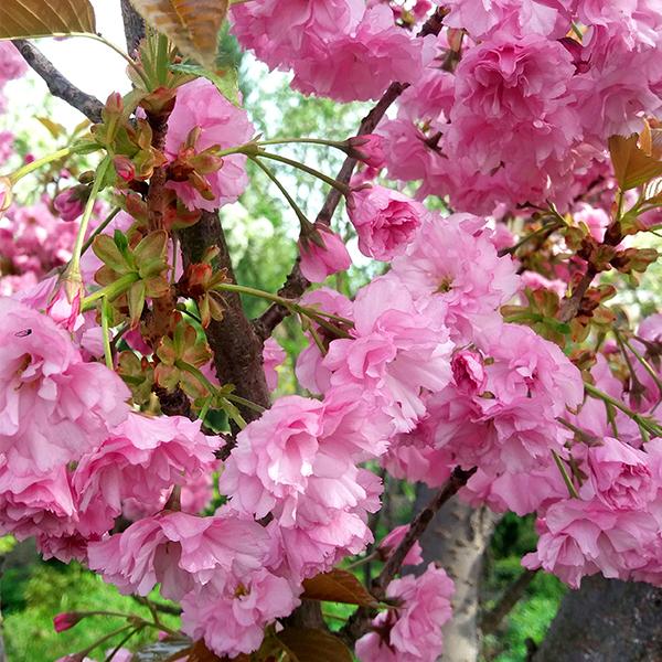 Мелкопильчатая вишня: выбор саженца, посадка, уход за растением и другие нюансы выращивания сакуры | огородники