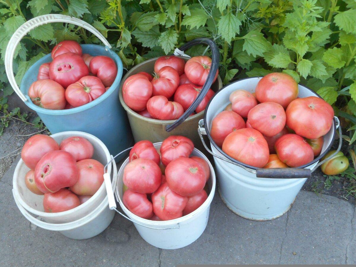Какие посадить помидоры в теплице и в открытом грунте: лучшие предложения 2021 года