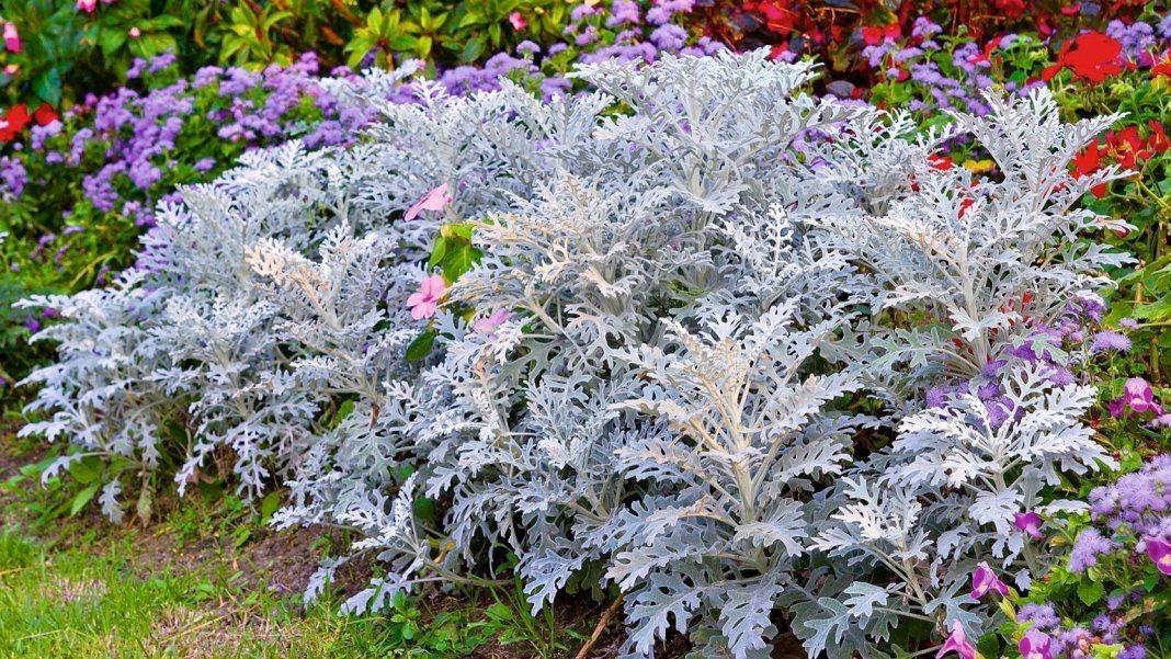 Цветы цинерария серебристая посадка и уход, сорта