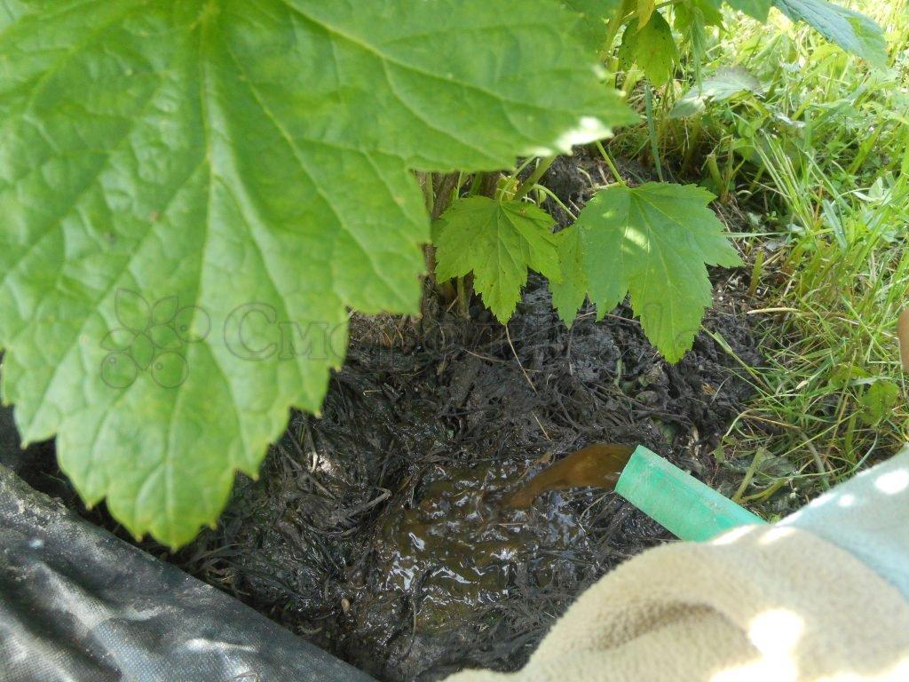 Когда и чем подкормить смородину весной: лучшие удобрения для хорошего урожая