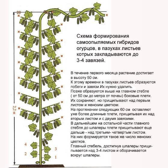 Правильная обрезка и технология формирования кустов огурцов в теплице
