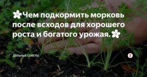Чем подкормить морковь для роста и сладости корнеплодов в мае июне июле августе и сентябре