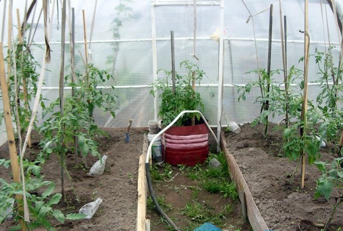 Помидоры в теплице из поликарбоната – выращивание, от посадки до урожая, как за ними ухаживать, видео