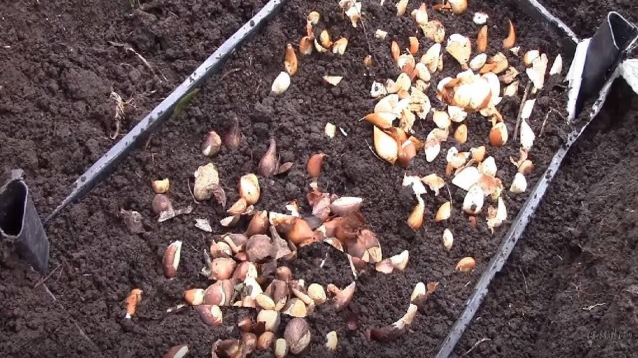 Правила посадки и ухода за тюльпанами осенью