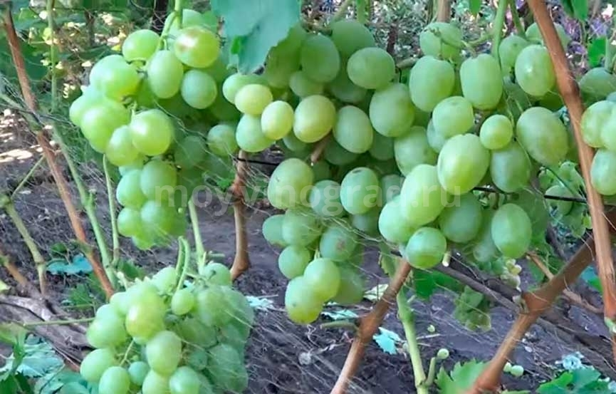 Как вывести новый сорт винограда в домашних условиях