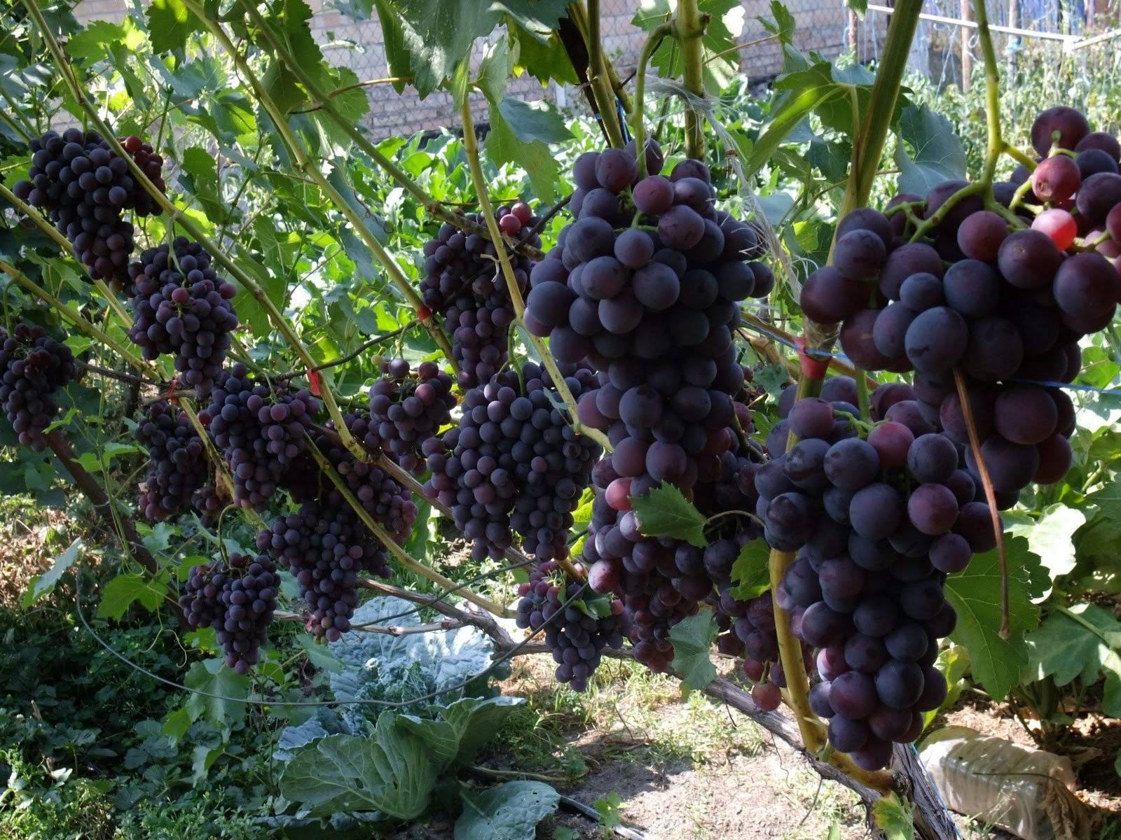 Описание винограда сорта Велика, выращивание и советы по уходу