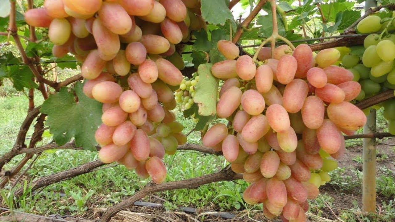 Определение сортов и видов винограда