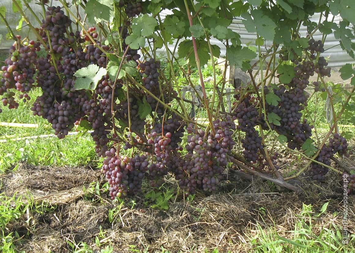 Виноград сенатор: описание сорта, фото, отзывы