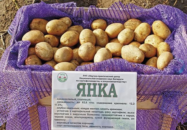 Сорт картофеля зорачка: описание, посадка и уход