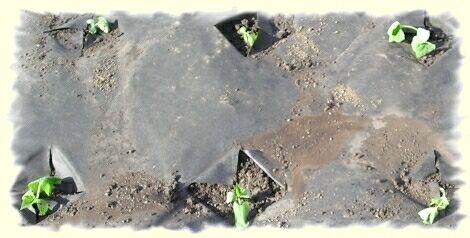 Способы посадки огурцов в открытом грунте фото видео