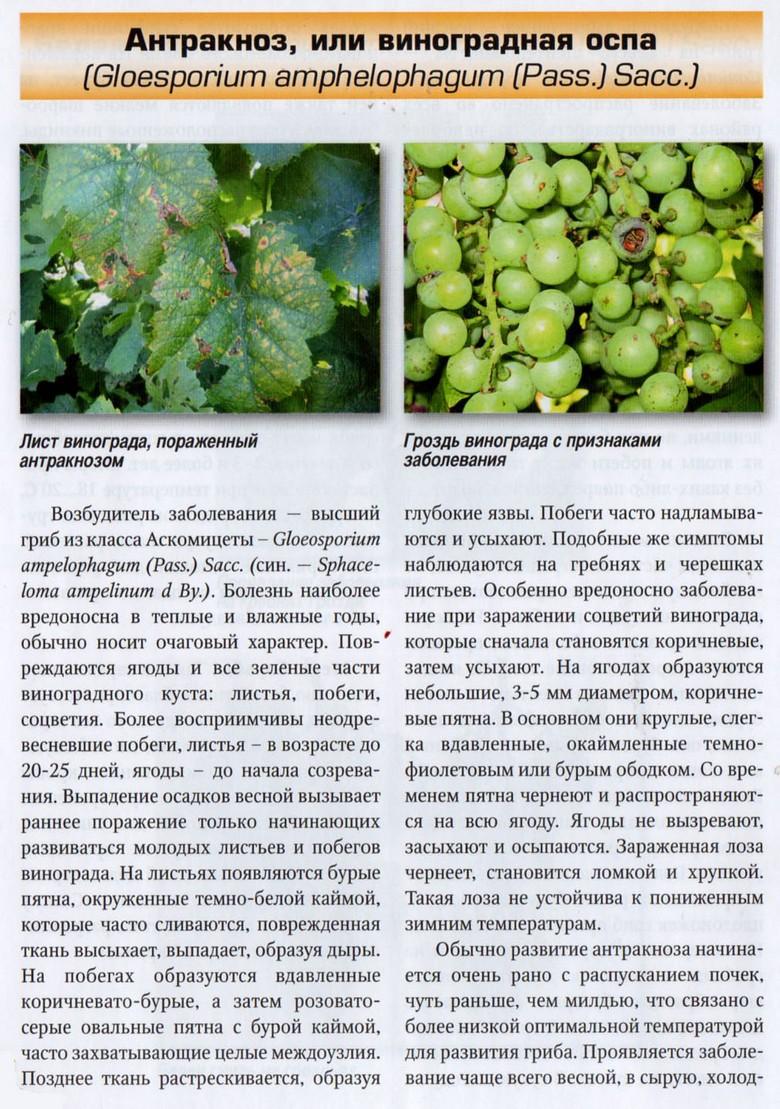 Виноград «памяти негруля»: молдавский сорт на российской земле