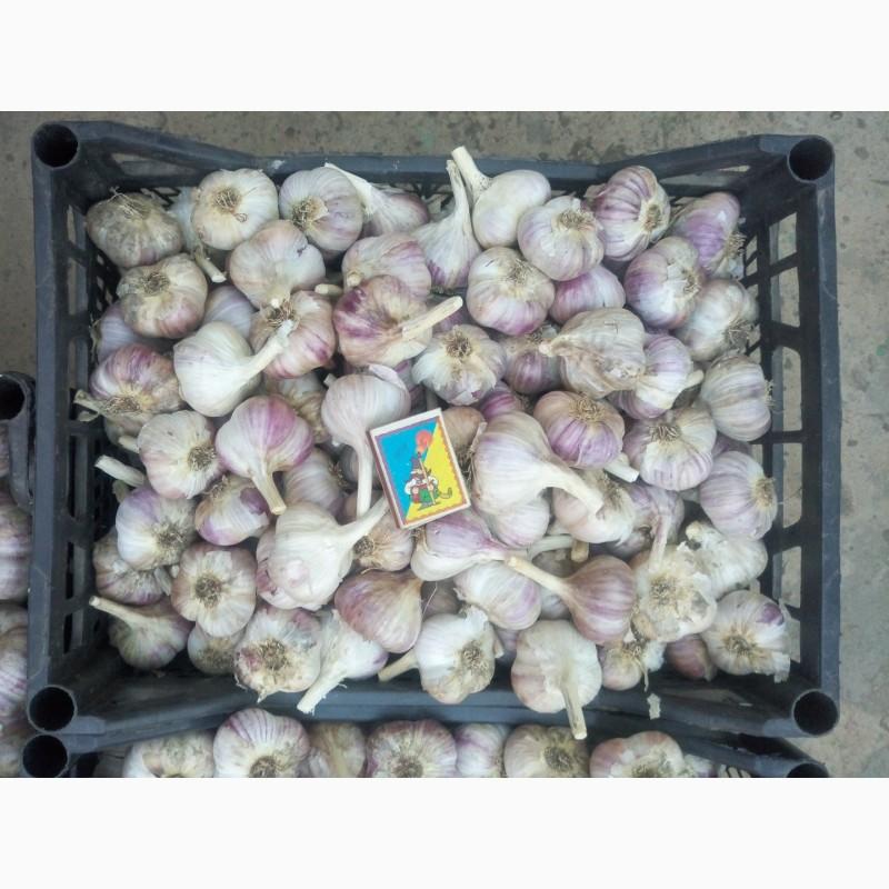 Описание сорта чеснока харьковский фиолетовый, особенности выращивания и ухода