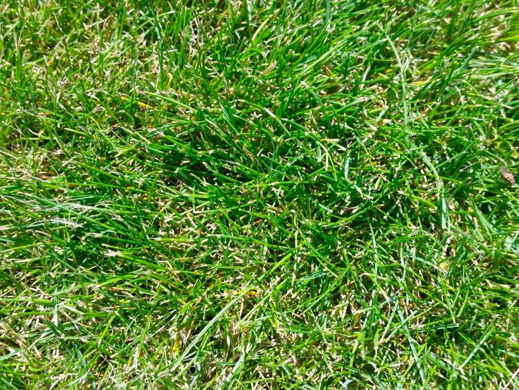 Газонная трава: какие семена выбрать для газона в частном доме? какие виды лучше посадить в сибири и в других регионах? как засеивать смесь? отзывы