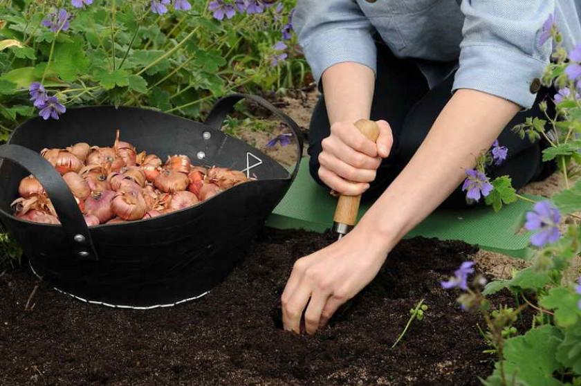 Когда сажать гладиолусы: в открытый грунт, в горшок, на рассаду