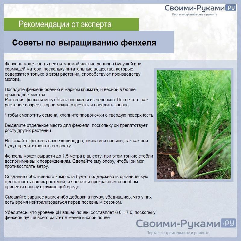 Фенхель: агротехника выращивания