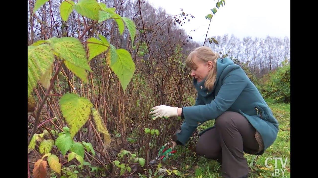 Как ухаживать за малиной летом, чтобы получить рекордный урожай ягод