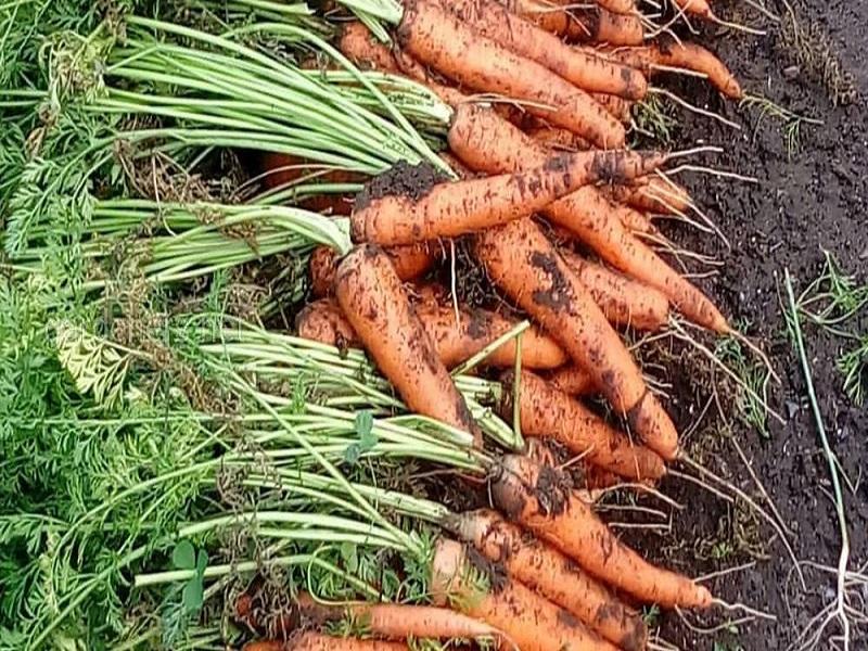 Чем подкормить морковь после всходов народными средствами – лучшие рецепты