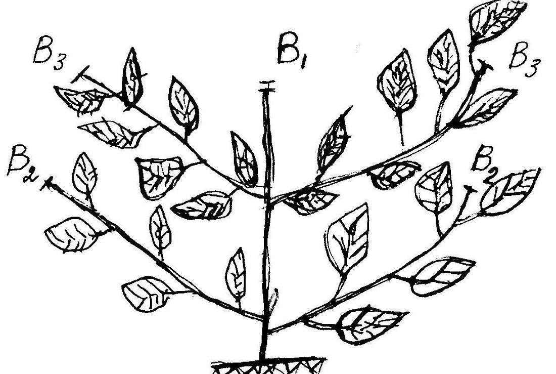 Как прищипывать арбузы и дыни: схема