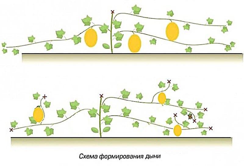 Как прищипывать арбузы: схемы, инструкции и рекомендации опытных садоводов и огородников. видео советы и 135 фото процедуры