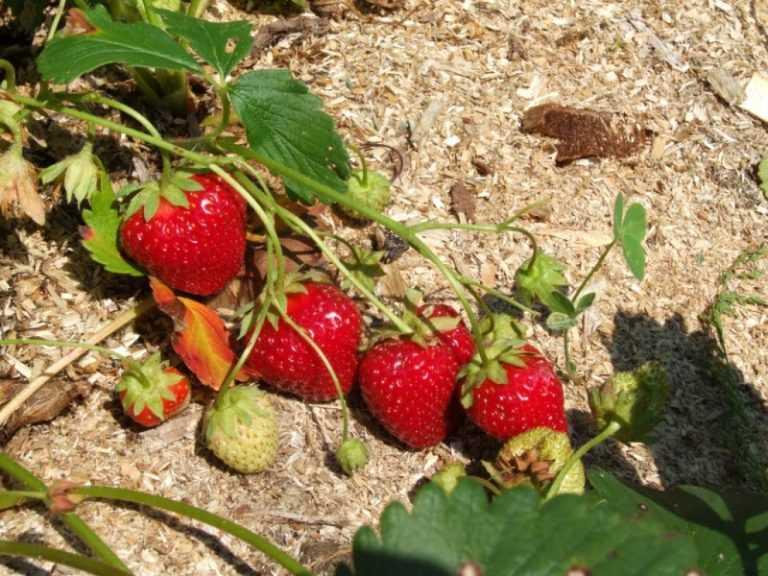 Особенности выращивания клубники хоней, описание сорта