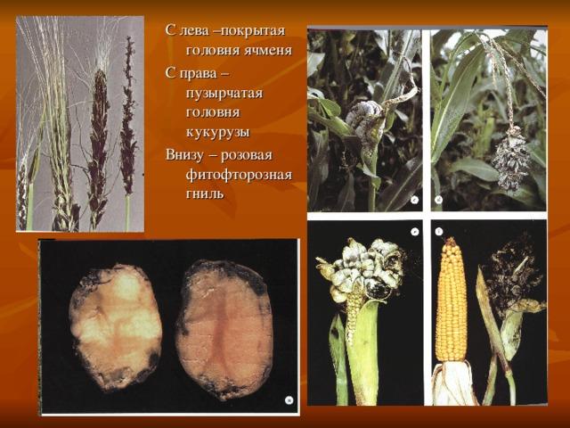 Топ-12 вредителей кукурузы