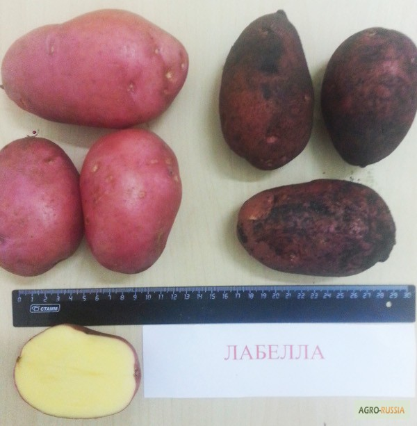 Сорт картофеля лабелла: описание и фото, основные характеристики картошки, правила выращивания и ухода