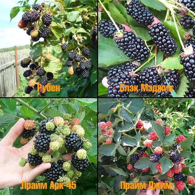 Выращивание ежевики, в том числе из семян, посадка и уход, особенности процесса в беларуси, подмосковье, украине, сибири, на урале