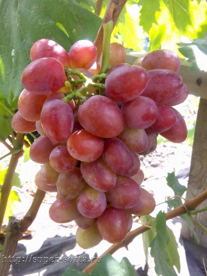 Сорт винограда юбилей новочеркасска, описание сорта с характеристикой и отзывами, а также особенности посадки и выращивания, фото