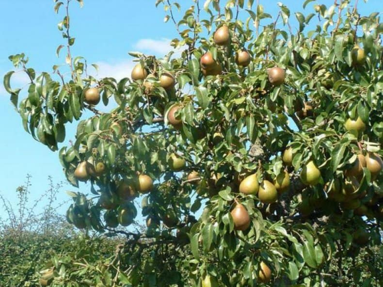 Груша мраморная: описание и характеристики сорта, опылители, выращивание