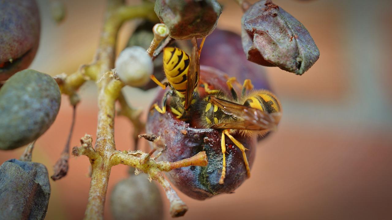 Как уберечь виноград от ос и пчел, и спасти от птиц - vinograd-loza