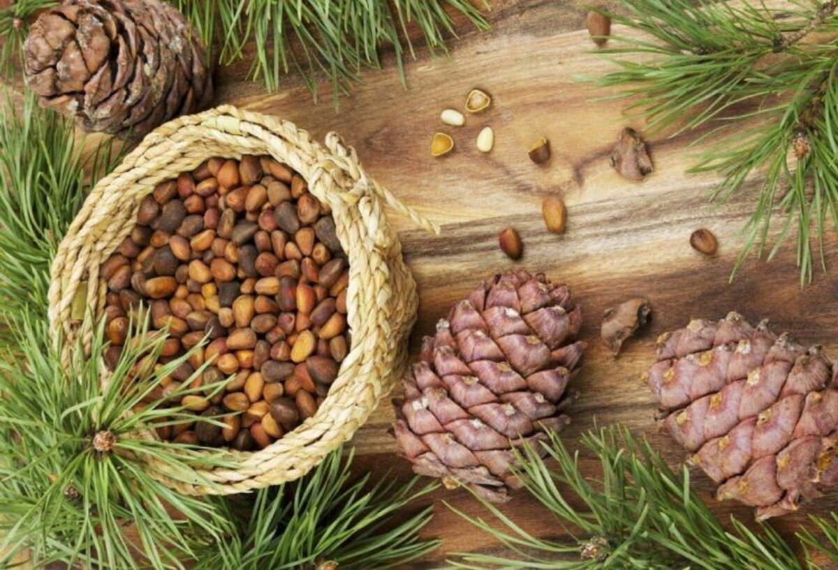 Сбор кедрового ореха: когда собирают, когда созревают, сколько весит мешок