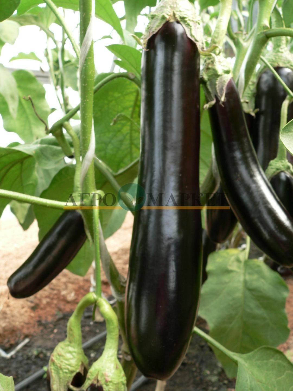 Валентина баклажан: описание, выращивание, уход, фото