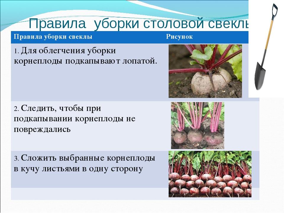 Сроки уборки моркови на хранение в 2021 году с учетом условий выращивания