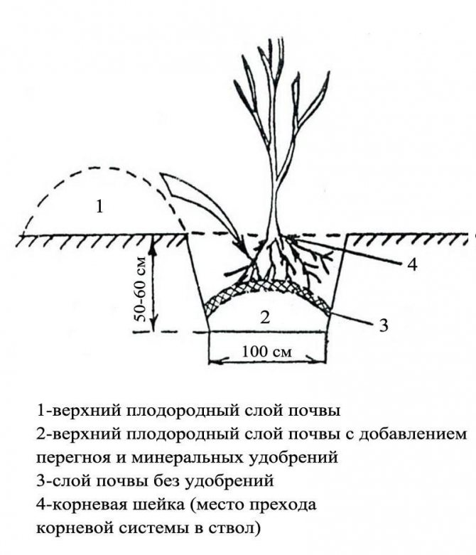 Как правильно сажать вишню весной и осенью: правила и особенности выращивания
