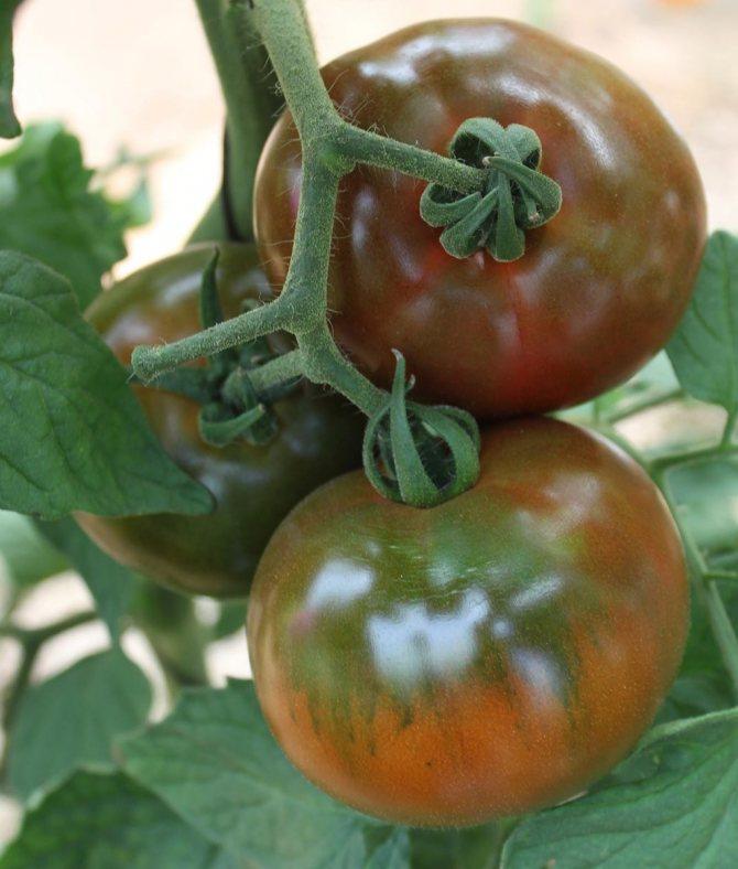 Описание сорта томата шоколадная амазонка, его характеристика и урожайность