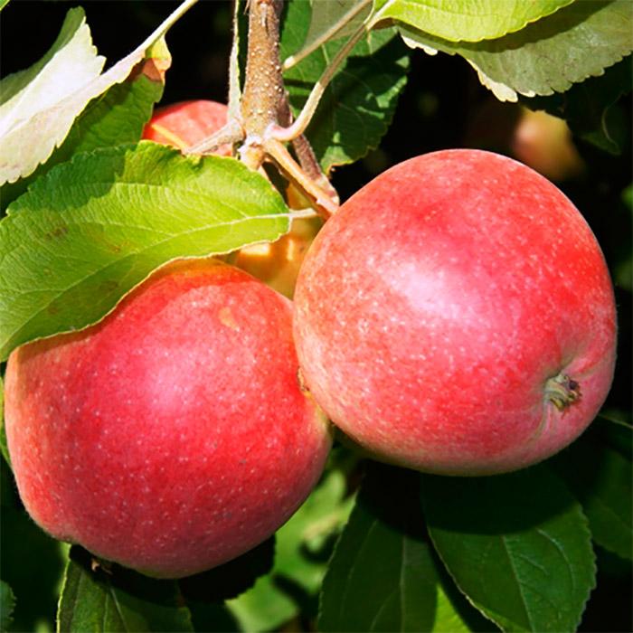 Описание сорта яблони беркутовское: фото яблок, важные характеристики, урожайность с дерева