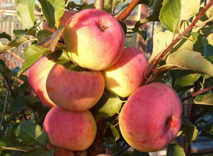 Яблоня дарунок: описание, фото, отзывы