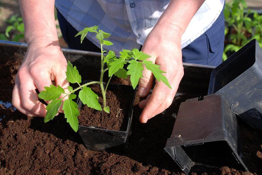 Как вырастить рассаду томатов без пикировки   вырасти сад!