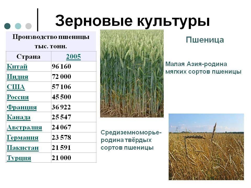 Кукуруза, гибриды лучших сортов для разных регионов россии с фото