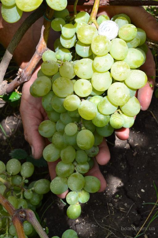 Виноград антоний великий. описание сорта и уход за растением
