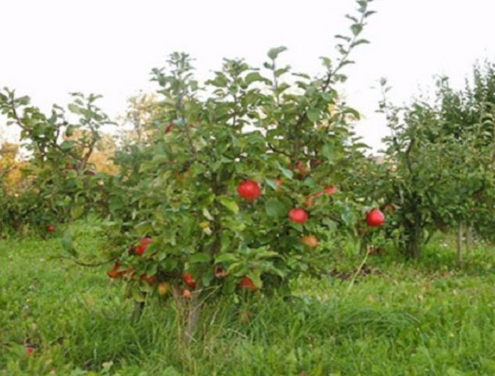 Разные сорта яблони на карликовых подвоях