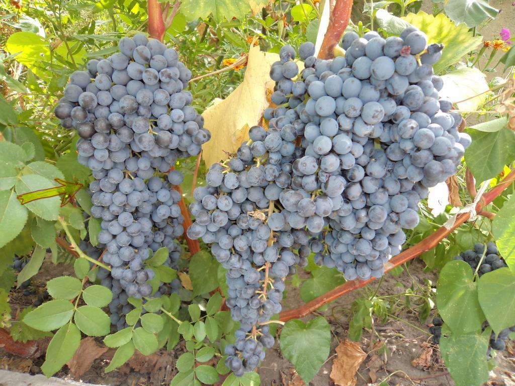 Выращивание винограда: посадка, выбор места, полив и особенности ухода